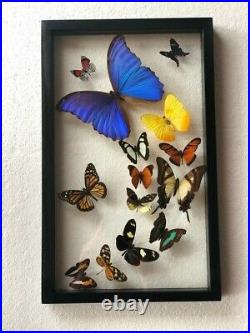 Real butterflies flying formation Blue Morpho plus 13 in glass case/black wood