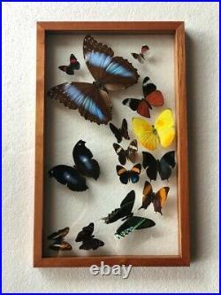Real butterflies flying formation Blue Morpho plus 13 in glass case/cedar wood