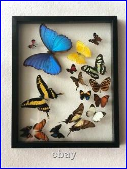 Real butterflies flying formation Blue Morpho plus 15 in glass case/black wood