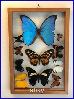 Real butterflies framed Blue Morpho plus 10 in glass case/cedar wood. A1 Quality