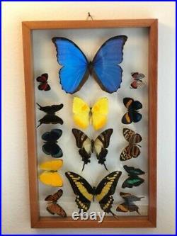 Real butterflies framed Blue Morpho plus 13 in glass case/cedar wood. A1 Quality