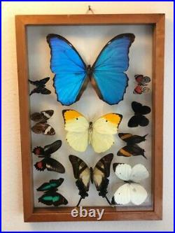 Real butterflies framed Blue morpho plus 10 in Glass case/ cedar wood. A1 quality