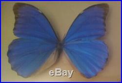 Vintage Taxidermy Blue Morpho Butterfly Brazil 10 Curved Glass Wood Frame